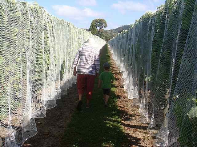 ブドウ畑(ヴィンヤード)の中を散歩